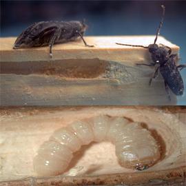 Traitement contre les termites for Capricorne du chene traitement
